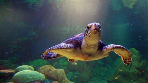 sea turtles wallpaper hd desktop wallpapers  hd