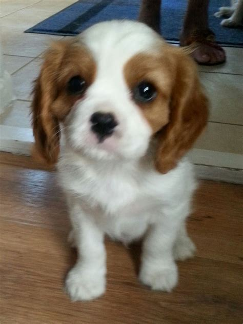 Pedigree Cavalier King Charles Puppies For Sale