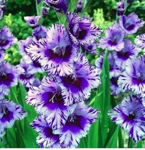 are bulbs perennial pack of 5 gladiolus passos perennial flower bulbs rare glad
