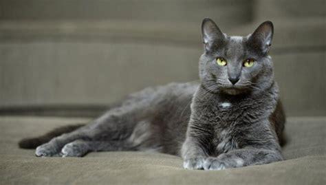 Desmit retas un neparastas kaķu šķirnes - DELFI