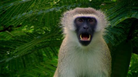 vervet monkeys escape plans talk   animals
