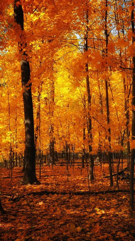 Autumn Wallpaper Hd Iphone X by Orange Forest Autumn Iphone 6 Wallpaper Hd Free