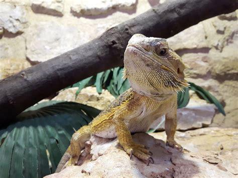 what kind of heat l for bearded dragon bearded dragon habitat lighting
