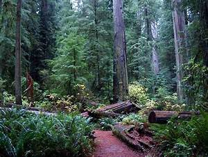 Pictures of the California coast redwood forest plant ...