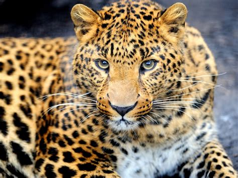 Animals Hd Wallpapers For Mobile - animal leopard desktop wallpaper hd for mobile phones and