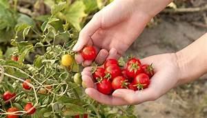 Tomaten Wann Pflanzen : tomaten pflanzen im naturgarten ~ Frokenaadalensverden.com Haus und Dekorationen