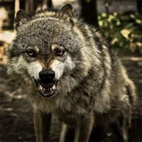 Hunter drags the dead body of a wolf, while his colleagues remove the warning flags. The Wolves of Chernobyl | Creepypasta Wiki | Fandom ...
