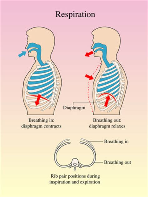 respiration biology encyclopedia cells body function
