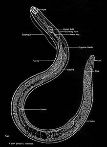 1000  Images About Phylums Nematoda  U0026 Platylminths  Worms