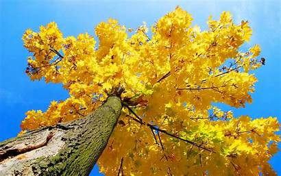 Tree Yellow Aesthetic Autumn Maple Screen Lock