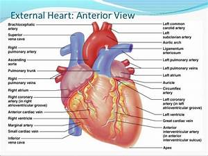 External Heart Anatomy Clip Art Of Heart Anatomy  7204