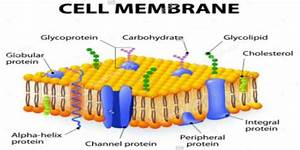 Plasma Membrane Or Cell Membrane  Structure And Function