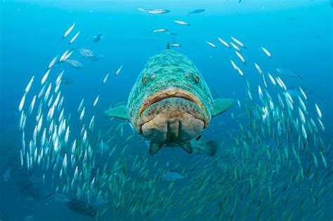 grouper goliath swimming super florida near wreck cum singer round scad reef swims mizpah island through