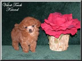 Very Tiny Teacup Poodles Puppy
