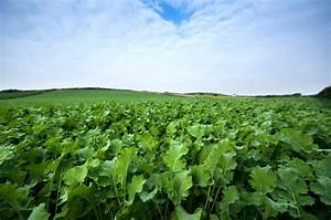 Brassicas: How forage crops can play a valuable role ...