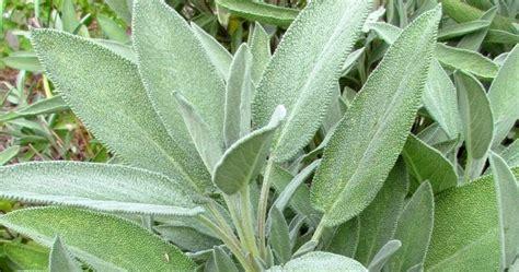 la sauge en cuisine œil absolu plantes médicinales de kabylie la sauge