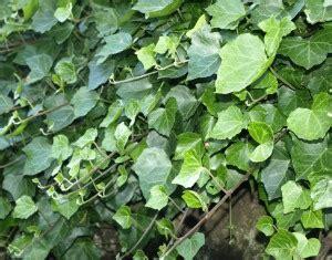 Pflanzen Gegen Staub by Pflanzen Im Einsatz Gegen Feinstaub Proplanta De