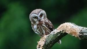 fond d'écran animal chouette oiseau hibou sur branche yeux ...