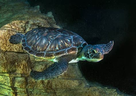 what color are the turtles learn about the fascinating green sea turtle species