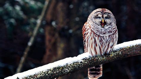 owl wallpapers  wallpapers