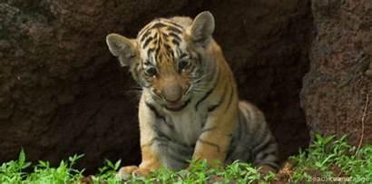 Animal Gifs Cutest Tiger Yawn Ever Cub