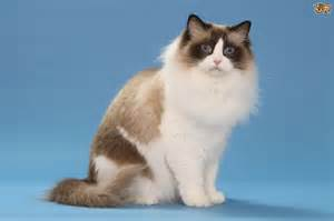 rag doll cat ragdoll cat breed information buying advice photos and