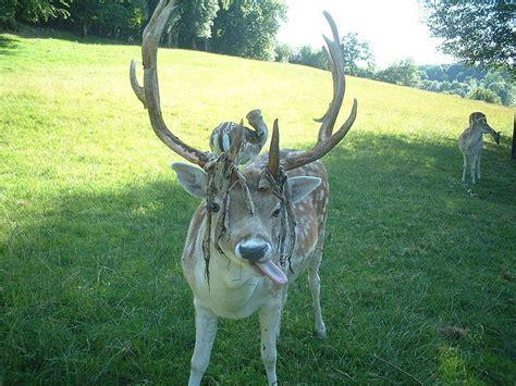 Deer Antler Shedding Cycle by 100 Deer Antler Shedding Season 10 Awesome Photos