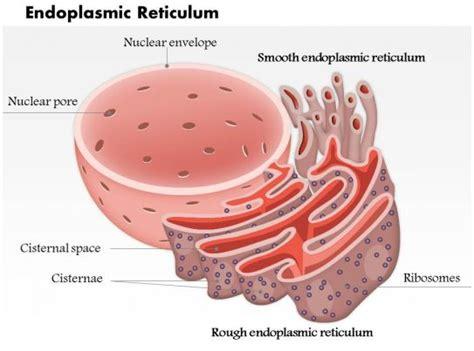 endoplasmic reticulum biology medical images