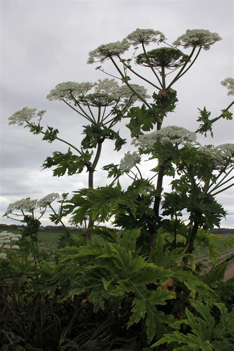giant hogweed invasive species council  british