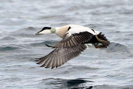 Virus Causing Mass Cape Cod Duck Dieoffs Identified