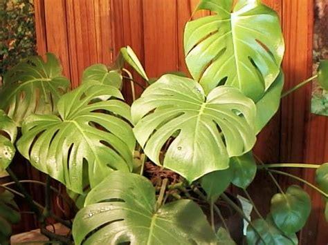 Split Leaf Philodendron Care