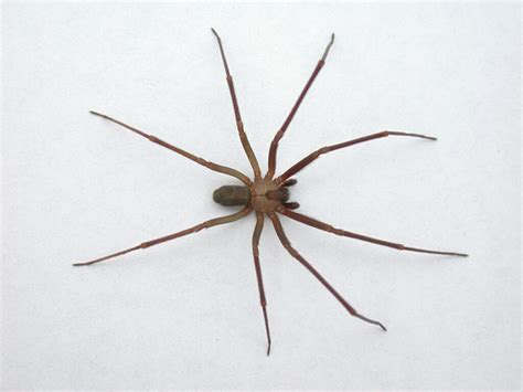 Brown Recluse Spider Loxosceles Reclusa Arachnipedia