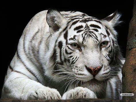 white tiger hd wallpapers wallpaper