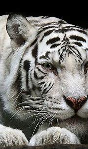 White Tiger Wallpapers Screensavers - WallpaperSafari