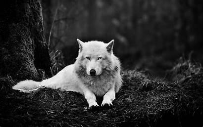 4k Hd1 Wolf