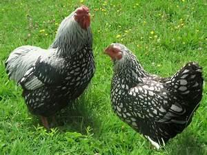 Comment élever Des Poules Pondeuses : quelles sont les poules ayant le meilleur rendement ~ Dode.kayakingforconservation.com Idées de Décoration