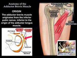 Anatomy Of The Adductor Brevis Muscle