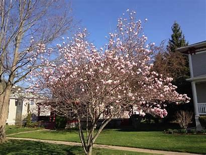 Magnolia Japanese Trees Jane Albion Saucer Plants