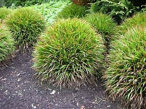 Immergrüne Pflanzen Für Balkonkasten : ziergras niedrig pflanzen f r nassen boden ~ Markanthonyermac.com Haus und Dekorationen