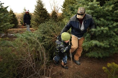 cut down your own christmas tree edmonton where and how to cut your own tree in colorado the
