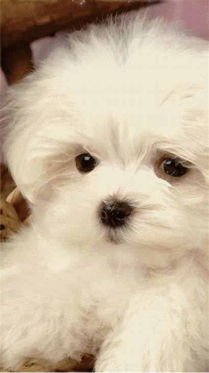 Maltese Puppy Pets Tbn Tbn0 Gstatic Encrypted