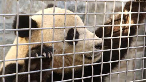 National Zoo's giant panda cub makes debut - CNN.com