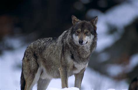 exposition sur le loup coll 232 ge pablo picasso
