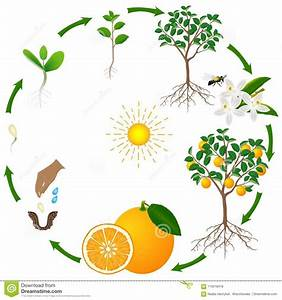 Diagram Of Life Cycle Of Orange Tree