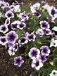 Rotary Botanical Gardens - Hort Blog: Plant Petunias!