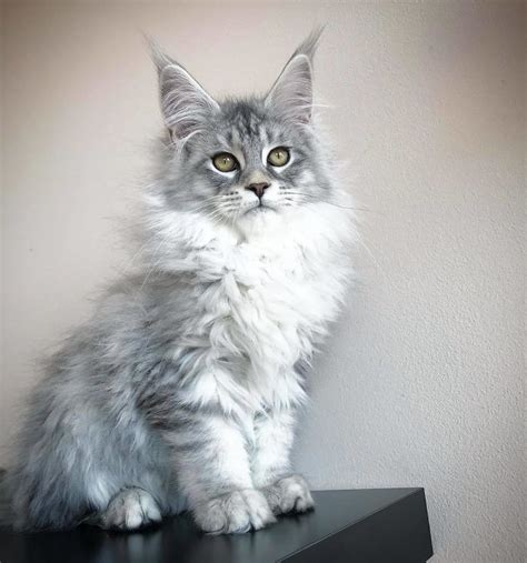 cute maine coon kittens    giants