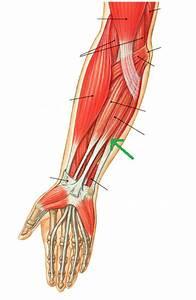 Anatomy  U0026 Physiology 1521  U0026gt  Baviskar  U0026gt  Flashcards  U0026gt  Lab 14  Muscles Of The Forearm And Hand