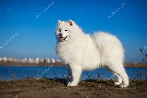 Beautiful Samoyed Dog — Stock Photo © Tanyxa333 8091999