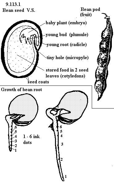 Bean Seed Parts Diagram