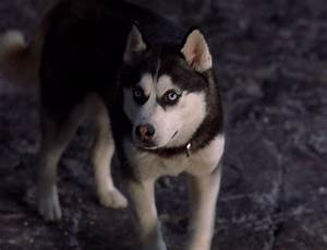 snow dogs images Demon wallpaper and background photos ...